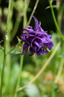 Columbine, Flower, Violet, Renonculacée, Plants, Garden