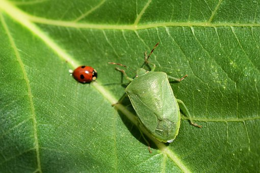 Insects, Green, Bug, Leaf, Nature, Ladybug, Ribs