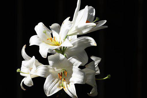 White Lily, Flower, Leaves, Spring, Decoration, Nature