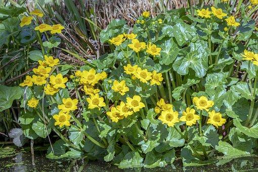 Marsh-marigold, Wildflower, Yellow, Flowers, Water
