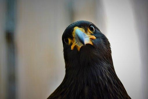 Buzzard, Harris Hawk, Raptor, Wild Bird, Bird Of Prey