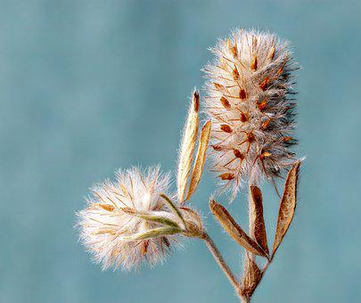 Hare's-foot- Clover, Wildflower, Seed-head, Botany