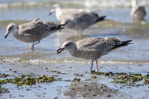 Seagull, Prey, Bird, Sea, Nature, Beach, Water, Animal