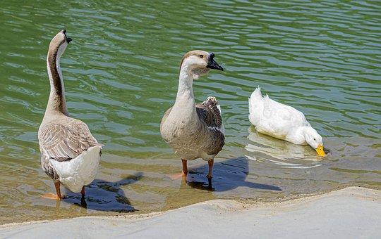 Ducks, Pond, Bird, Animal, Water, Plumage, Waterfowl