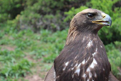 Golden Eagle, Eagle, Bird, View, Brown, Beak, Nature
