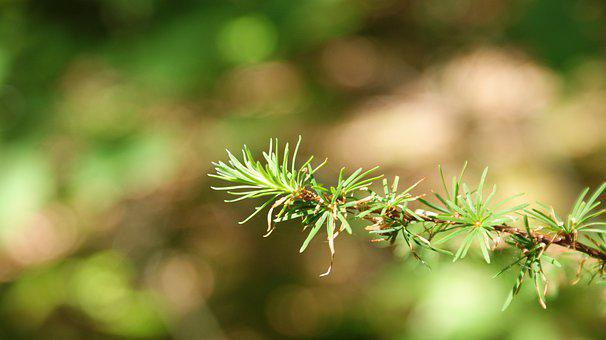 Forest, Close Up, Branch, Conifer, Coniferous Trees