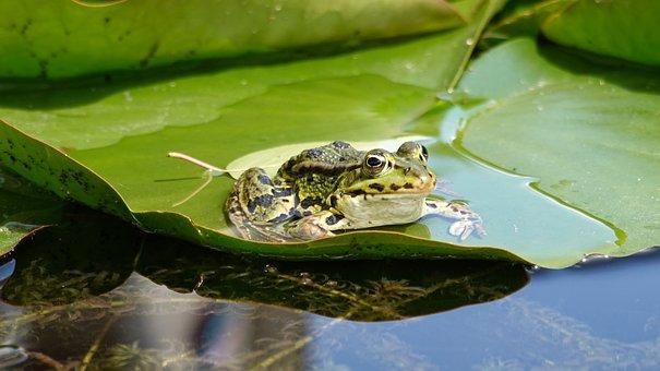 Frog, Amphibian, Green, Pond, Animal, Croak, Waterlily