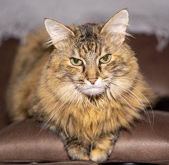 Cat, Kitten, Pet, Animal, Feline, Fur, Domestic, Furry
