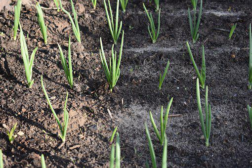 Onion, Landing, Agriculture, Economy, Spring, Sprouts