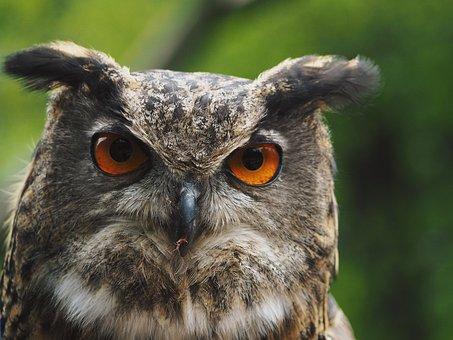 Eagle Owl, Owl, Raptor, Nature, Bird, Feather, Plumage