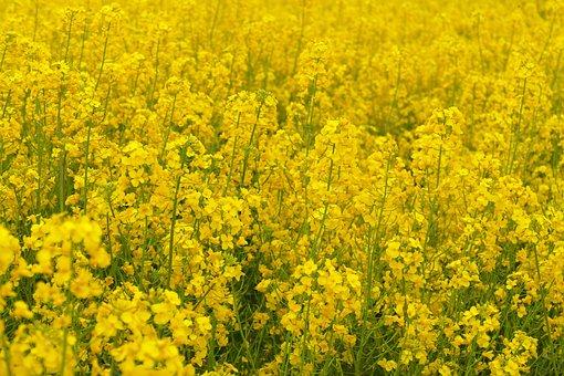 Rapeseed, Crop, Plant, Flora, Flower, Yellow, Bee