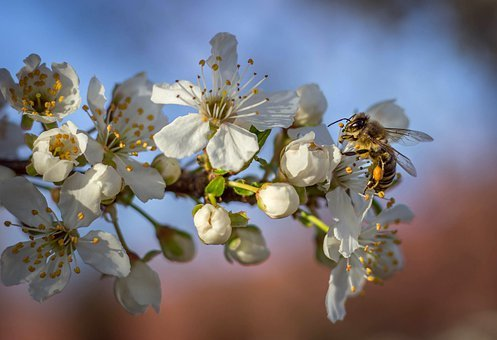 Bee, Spring, Insect, Flower, Pollen, Nectar, Nature