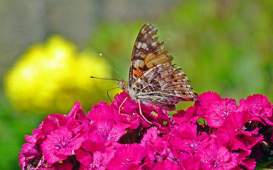 Butterfly, Insect, Flower, Nature, Macro