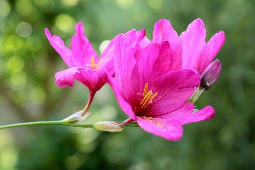 Flower, Pink, Ixia, Purple Plant, Droplets
