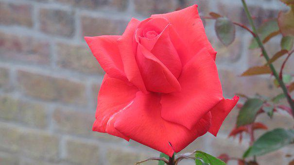 Rose, Flowers, Blossom, Bloom, Nature, Romance, Red