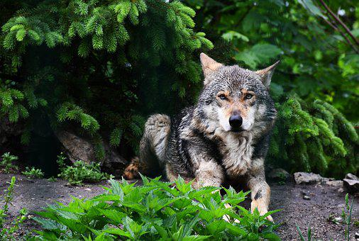Wolf, Forest, Dangerous, Animal