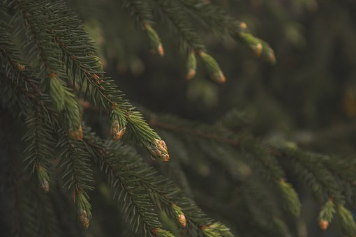 Spruce, Pine Cone, Forest, Nature, Green, Spring