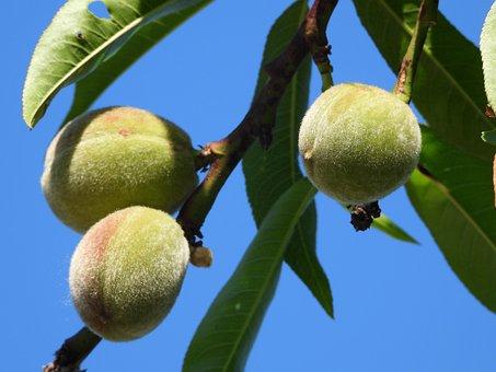 Peach, Tree, Branch, Fruit, Spring, Garden, Nature, Sad