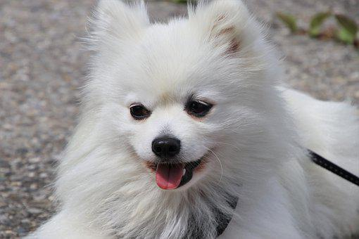 Long-haired, Dog, Fur, Spitz, Breed, Sweet, Walk, Like