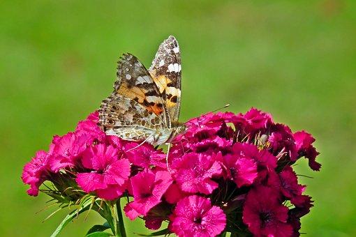 Butterfly, Insect, Flower, Gożdzik Stone, Nature, Macro