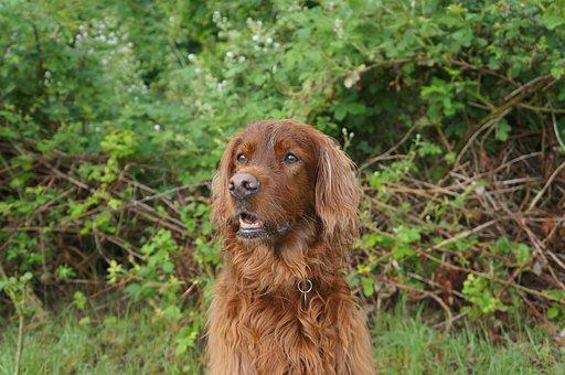 Dog, Irish Setter, Animals, Setter, Hunting, Forest