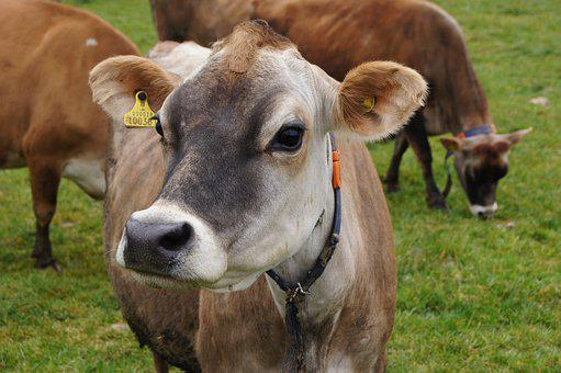 Jersey Cow, Jersey-cow, Jersey Channel Islands, The Cow