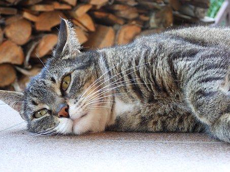 Cat, Dachowiec, Animal, Kitten, Tomcat, Nature
