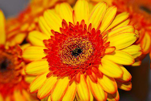 Marigold, Flower, Nature, Orange, Yellow, Petals
