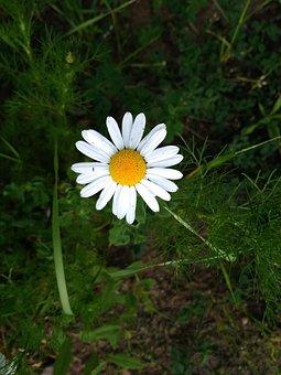 Chamomile, Daisy, Meadow, Flower, Flowers, Field