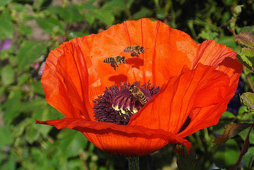 Poppy, Flower, Red, Bees, Flying, Nectar, Meadow