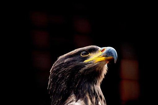 Bald Eagle, Bird, Animal, Animal World, Nature, Raptor