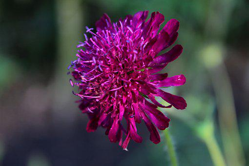 Knautia Macedonica, Beemdkroon, Flower, Nature