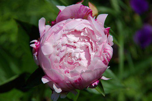 Peony, Blossom, Bloom, Romantic, Flower, Nature, Pink