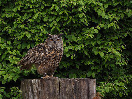 Eagle Owl, Owl, Bird, Nature, Forest, Feather, Plumage