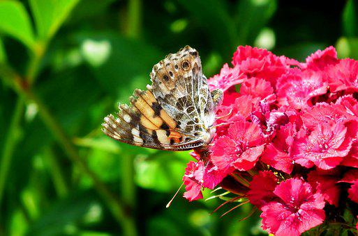 Butterfly, Insect, Flowers, Gożdziki Stone, Nature