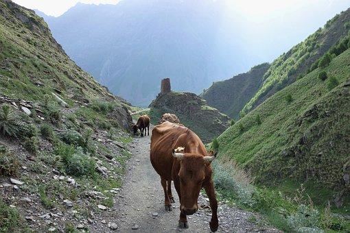 Georgia, Mountains, Cow, Landscape, Tourism, Nature