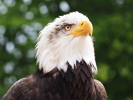 Adler, Raptor, Bird, Bird Of Prey, Bill, Animal, Nature