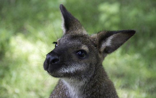 Kangaroo, France, Zoo, Nature, Wallibi