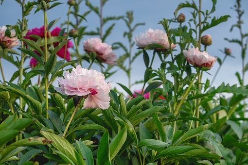 Peony, Flowers, Bloom, Summer, Garden, Blossom, Bloom