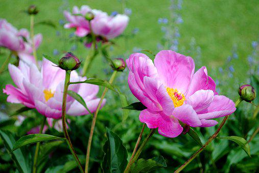 Flower, Meadow, Nature, Peony, Pink, Spring, Flowers