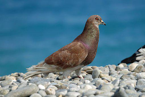 Pigeon, Bird, Pebbles, Stones, Plumage