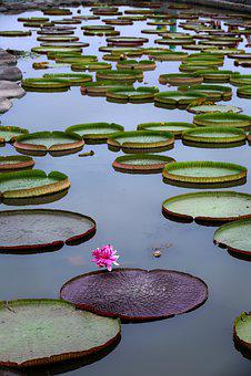 Company, The White Lotus, Lotus, Pond, Nature, Plants