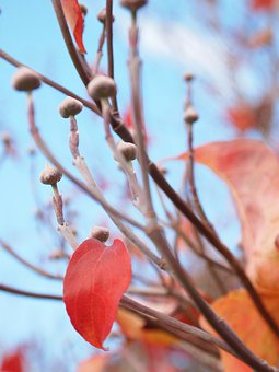 Fall, Autumn, Bluesky, Dogwood, Leaves, Red Leaf, Bud