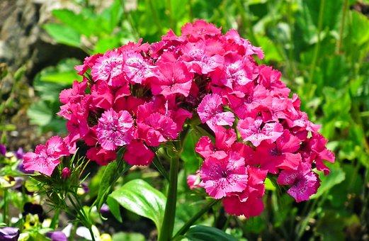 Gożdzik Stone, Flower, Garden, Spring, Closeup, Nature