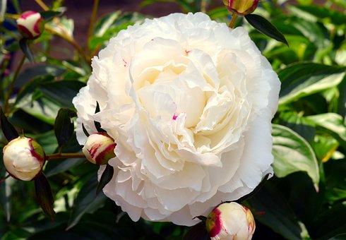 Peony, White, White Peony, Flower, Blossom, Bloom