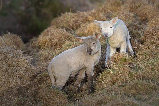 Easter Lamb, Lamb, Lambs, Spring, Young, Animal, Nature