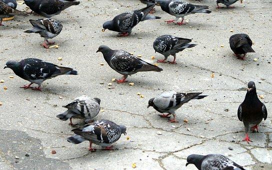 Birds, Pigeons, Bird, Dove, Animals, Feeding
