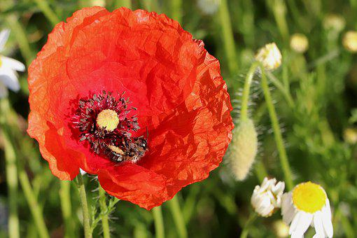 Bee, Klatschmohn, Poppy Flower, Close Up, Wild Flowers