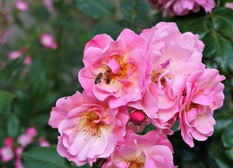 Flower, Rose, Bee, Hard Working, Romantic, Plant
