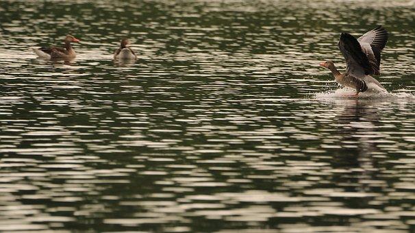 Goose, Lake, Landing, Water, Bird, Animal, Water Bird